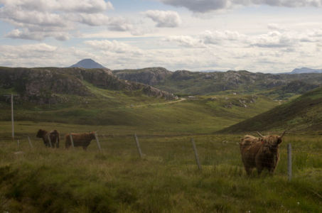 Vaches de race Highland, Ecosse