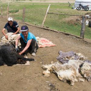 Tonte des moutons aux ciseaux Pas évident
