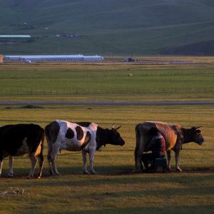 Traite des vaches à l'ancienne