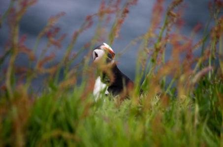 Macareux (puffins) sur l'île de Westray