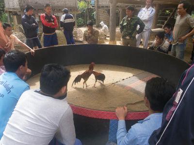 Un combat de coqs