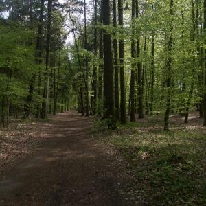 Piste traversant la forêt polonaise